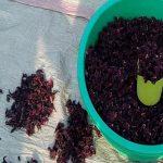 Vendors in Gulu Struggle With Hibiscus Sales