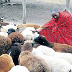 How to make money from sheep farming